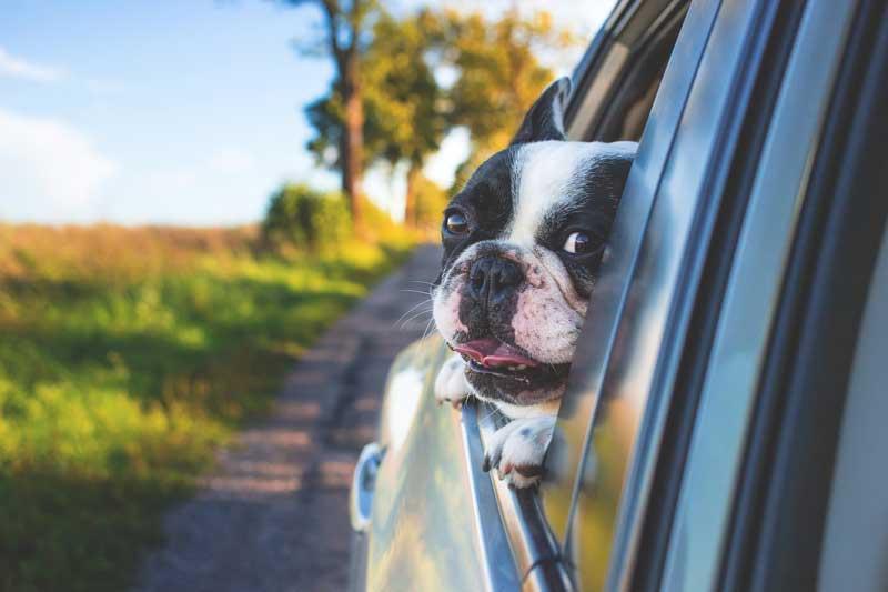 Dog Walker-Bristol-pug in car window