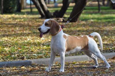 Dog Walker-Bristol-Beagle