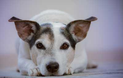 Dog Walker-Bristol-Jack-Russel